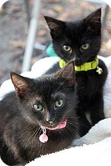Domestic Shorthair Kitten for adoption in Fort Leavenworth, Kansas - Ash