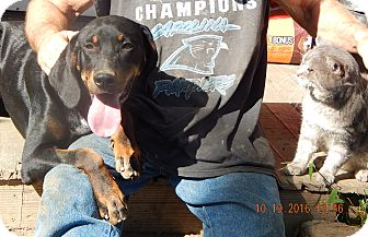 Doberman Pinscher/German Shorthaired Pointer Mix Puppy for adoption in Niagara Falls, New York - Raleigh (60 lb) Video!