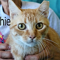 Domestic Shorthair Cat for adoption in Wichita Falls, Texas - Archie