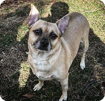 Chihuahua/Pug Mix Dog for adoption in Raritan, New Jersey - Gouda ~ PENDING