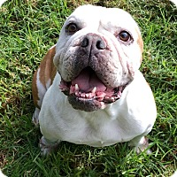 English Bulldog Dog for adoption in Santa Ana, California - Journey