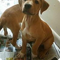 Adopt A Pet :: Carmello - New York, NY
