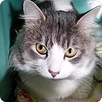 Adopt A Pet :: Kimber - Franklin, NH