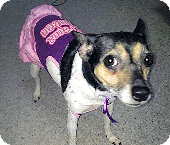 Fox Terrier (Toy) Dog for adoption in Olmsted Falls, Ohio - Cosmo-Courtesy Post