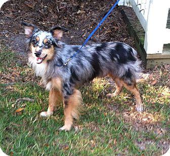 Australian Shepherd Dog for adoption in Columbia, South Carolina - Skye