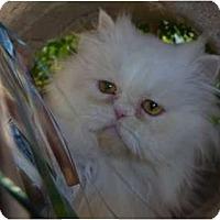 Adopt A Pet :: Blanche - Beverly Hills, CA