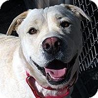 Adopt A Pet :: Kodiak (courtesy) - Scottsdale, AZ