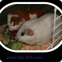 Adopt A Pet :: Squiggi - Olmsted Falls, OH