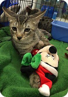 Domestic Shorthair Kitten for adoption in Sacramento, California - Stanley