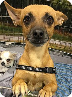 Chihuahua/Miniature Pinscher Mix Dog for adoption in Oakland, Florida - Jobe