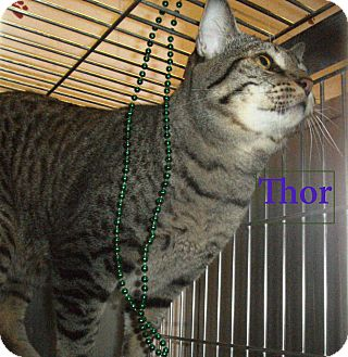 Domestic Shorthair Cat for adoption in El Cajon, California - Thor