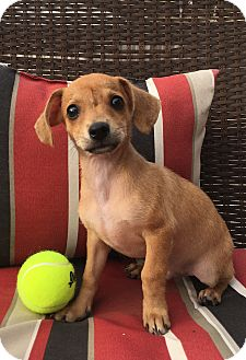 Dachshund/Chihuahua Mix Puppy for adoption in Houston, Texas - Larry