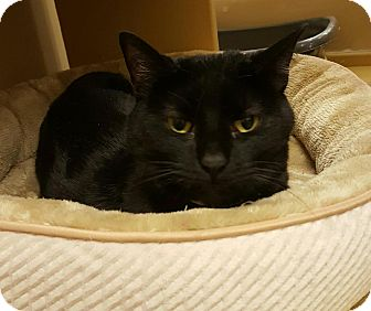 Domestic Shorthair Cat for adoption in Manchester, Connecticut - Ebony (in CT)