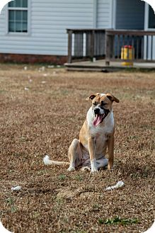 Labrador Retriever/Pit Bull Terrier Mix Dog for adoption in Raeford, North Carolina - Fluffy