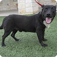 Adopt A Pet :: Randy - North Richland Hills, TX