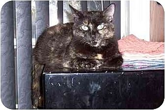 Domestic Mediumhair Cat for adoption in Simms, Texas - Molly
