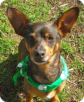 Chihuahua Mix Dog for adoption in El Cajon, California - Wiley