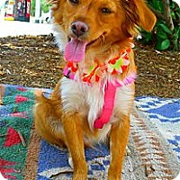 Adopt A Pet :: Golden Hunny cutest thing - Sacramento, CA