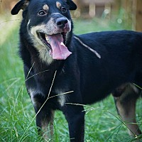 Shepherd (Unknown Type) Mix Dog for adoption in Jackson, Mississippi - Beaver Cleaver