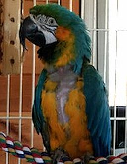 Macaw for adoption in Asheville, North Carolina - Bertie