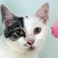 Domestic Shorthair Cat for adoption in Palm City, Florida - Beau