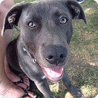 Adopt A Pet :: Indy - Sinking Spring, PA