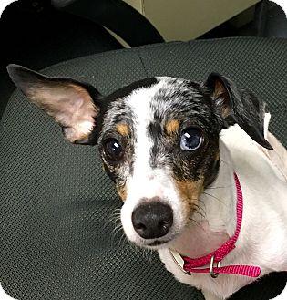 Dachshund Mix Dog for adoption in Mount Kisco, New York - Lucy