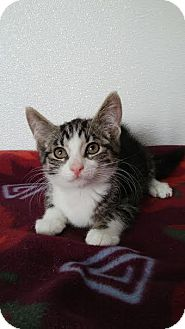 Domestic Shorthair Kitten for adoption in China, Michigan - Gus