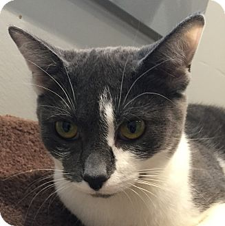 Domestic Shorthair Cat for adoption in Lafayette, New Jersey - Dahlia