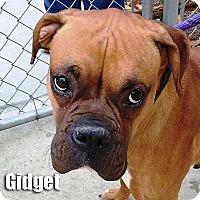 Adopt A Pet :: Gidget - Encino, CA
