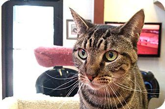 Domestic Shorthair Cat for adoption in Sarasota, Florida - Belladonnna