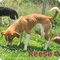 Adopt A Pet :: Reese Cup - Harrisville, WV