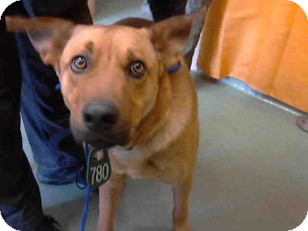 Shepherd (Unknown Type)/Chow Chow Mix Dog for adoption in San Diego, California - Finn URGENT