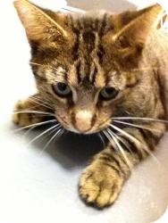 Domestic Shorthair Cat for adoption in Chicago, Illinois - AWESOME