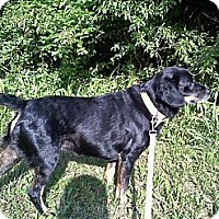 Adopt A Pet :: Pebbles - Greenville, SC