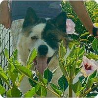 Adopt A Pet :: BEAR - East Amherst, NY
