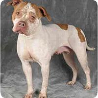 Adopt A Pet :: Speckle - Chicago, IL