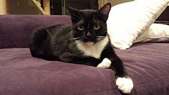 American Shorthair Cat for adoption in Santa Monica, California - Bootsy