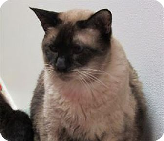 Siamese Cat for adoption in Cary, North Carolina - Jackson