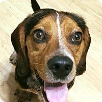Adopt A Pet :: Copper Top - Marietta, GA