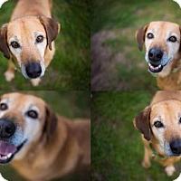 Labrador Retriever Mix Dog for adoption in Virgina Beach, Virginia - Meela