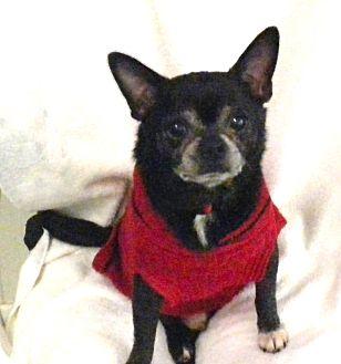 Chihuahua Mix Dog for adoption in Irwin, Pennsylvania - Nino