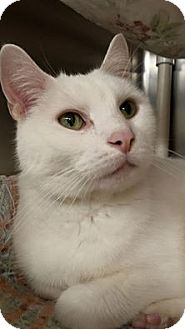 Domestic Shorthair Cat for adoption in Maryville, Missouri - Pookie