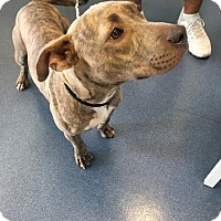Adopt A Pet :: Roxie - Jupiter, FL