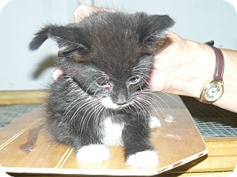 Domestic Mediumhair Kitten for adoption in Island Park, New York - Tux