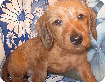 Dachshund Puppy for adoption in San Jose, California - Iko