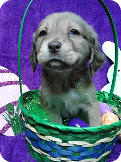 Cocker Spaniel Mix Puppy for adoption in River Falls, Wisconsin - Farnsworth