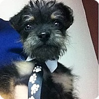 Adopt A Pet :: Toby 3 lbs-ADOPTED - Warwick, NY