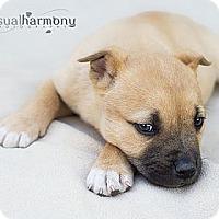 Adopt A Pet :: Febus - Phoenix, AZ