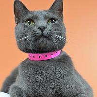 Domestic Shorthair Cat for adoption in Atlanta, Georgia - Stella 11719